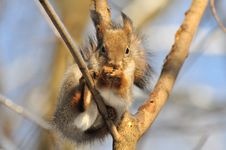 Free Red Squirrel. Royalty Free Stock Photo - 18053735