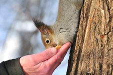Free Red Squirrel. Stock Photography - 18053802