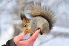 Free Red Squirrel. Royalty Free Stock Photos - 18053818