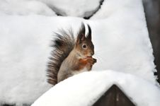 Free Red Squirrel. Royalty Free Stock Photography - 18053977