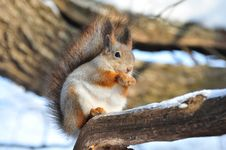 Free Red Squirrel. Royalty Free Stock Photography - 18054137