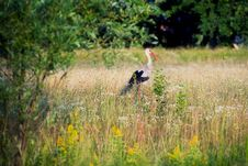 Free Stork On The Meadow Stock Photo - 18055360
