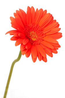 Red Gerber Daisy On White Royalty Free Stock Photos