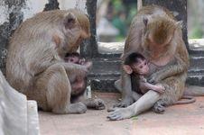 Monkey Family. Royalty Free Stock Photography
