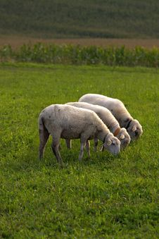 Free Sheeps Royalty Free Stock Photo - 18056325