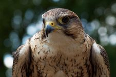 Free Saker Falcon Stock Photography - 18056512