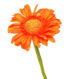 Free Gerbera Daisy Stock Photos - 18056673