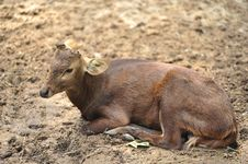 Free Hornless Deer Stock Photos - 18056853
