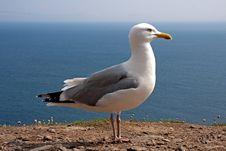 Free Atlantic Seagull Stock Images - 18058084
