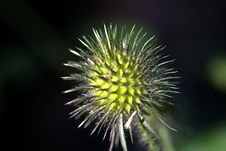 Free A Thistle Stock Image - 18058191