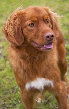 Free Nova Scotia Duck Tolling Retriever. Royalty Free Stock Photo - 18058815