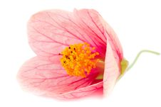 Free Close-up Pink Flower Royalty Free Stock Images - 18059419