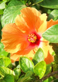 Orange  Mediterranean Hibiscus Royalty Free Stock Photo