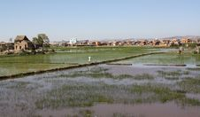 Free Madagascar Rice Paddy Royalty Free Stock Photography - 18061027