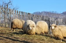 Free Flock Of Sheep Royalty Free Stock Images - 18063569