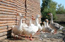 Free White Domestic Geese Royalty Free Stock Photos - 18063918