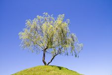 Free Isolated Weeping Willow Tree On A Hill Stock Photo - 18069720