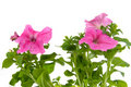 Free Pink Petunia Royalty Free Stock Photography - 18076307