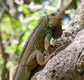Free Young Green Iguana Royalty Free Stock Photos - 18078338