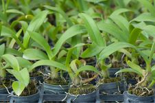 Free Young Orchid Farm Royalty Free Stock Photos - 18070968