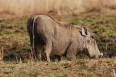 Free Warthog Royalty Free Stock Images - 18070999