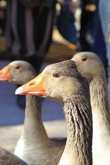 Free Goose Royalty Free Stock Image - 18071696