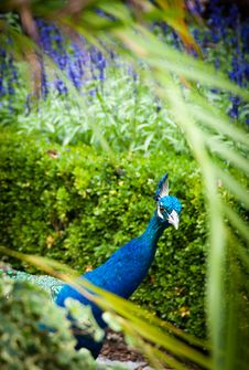 Free Peacock Peeking Royalty Free Stock Photos - 18072198