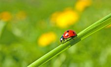 Free Red Ladybug On Green Grass Royalty Free Stock Photography - 18072397