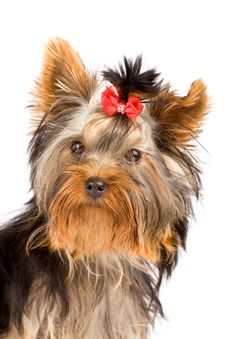 Free Yorkshire Terrier - Dog Stock Photography - 18072742