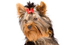 Free Yorkshire Terrier - Dog Royalty Free Stock Photography - 18072767