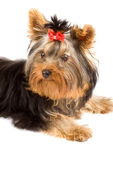 Free Yorkshire Terrier - Dog Royalty Free Stock Photography - 18072787