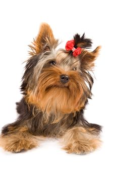 Free Yorkshire Terrier - Dog Stock Images - 18072824