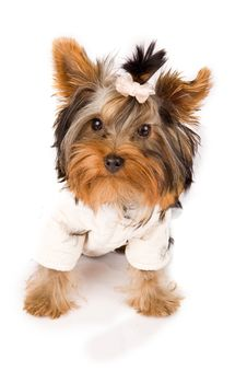 Free Yorkshire Terrier With White Jacket - Dog Stock Photo - 18072920