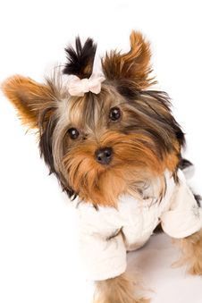 Free Yorkshire Terrier With White Jacket - Dog Royalty Free Stock Photography - 18072937