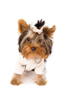 Free Yorkshire Terrier With White Jacket - Dog Royalty Free Stock Photography - 18072957