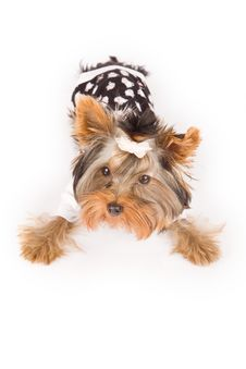 Free Yorkshire Terrier With Pajamas Royalty Free Stock Photography - 18073127