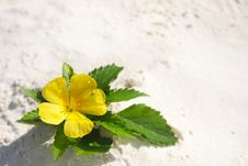 Free Yellow Flower On Sand Royalty Free Stock Photos - 18075638