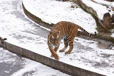 Free Amur Tiger Stock Photos - 18076213