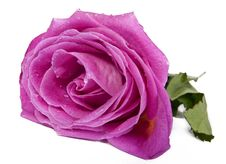 Beauty Pink Rose Isolated Stock Photos