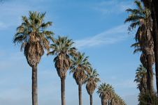 Free Row Of Palm Trees Stock Photos - 18077773