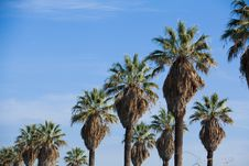 Free Row Of Palm Trees Stock Photos - 18078093