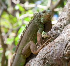 Free Young Green Iguana Royalty Free Stock Photos - 18078338