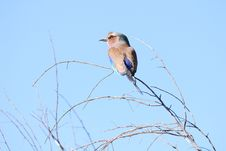Free Lilac Breasted Roller Stock Photography - 18078532