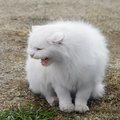 Free White Fluffy Cat Royalty Free Stock Images - 18085199