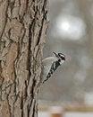 Free Woodpecker Stock Image - 18087331