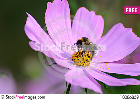 Free Gathering Bee Royalty Free Stock Images - 18086859