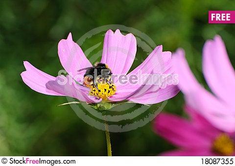 Free Gathering Bee Royalty Free Stock Photo - 18087355