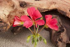 Free Geranium Flower Royalty Free Stock Photography - 18080577