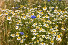 Free Field With Cornflowers And Camomiles Stock Images - 18080924