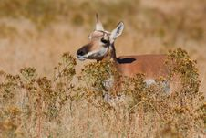 Pronghorn Antelope Female Stock Photos